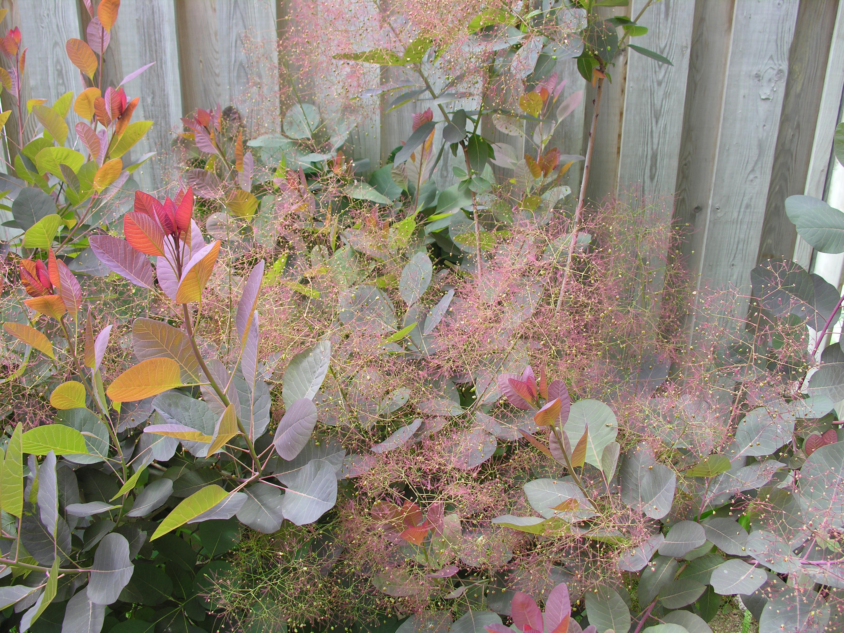 Cotinus Grace Smoke Bush Flower Panicles Beginning To Look Like