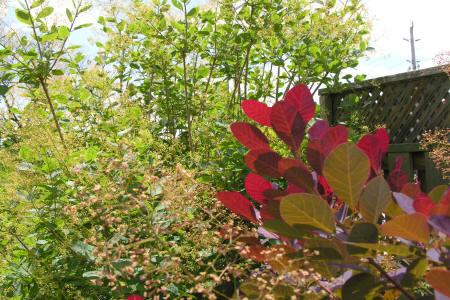 Royal Purple Smoke bush in front of American Smoke tree