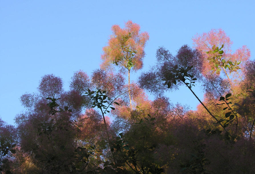 This photo shows how the mature flower panicles on the American Smoke tree or Cotinus Obovatus