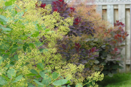 Small flowers just beginning to open on the panicles of a smoke tree